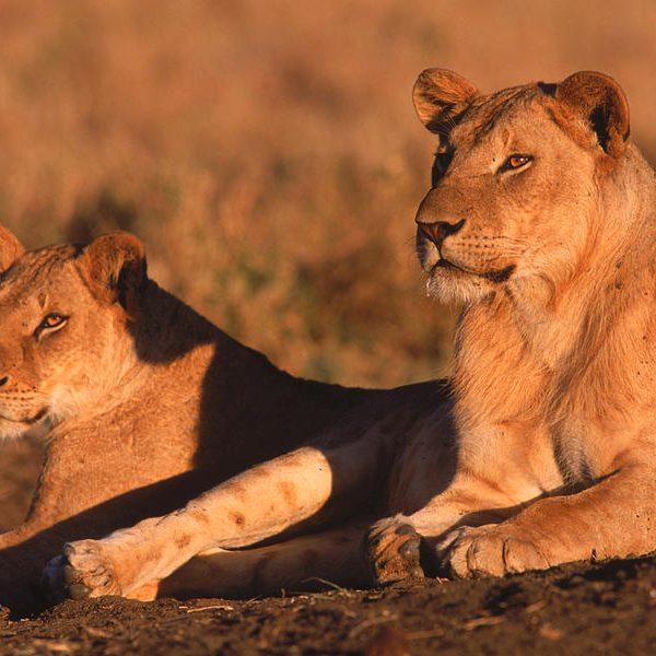 mannelijke leeuw zonder manen